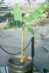 Banna Tree and Piss Tube